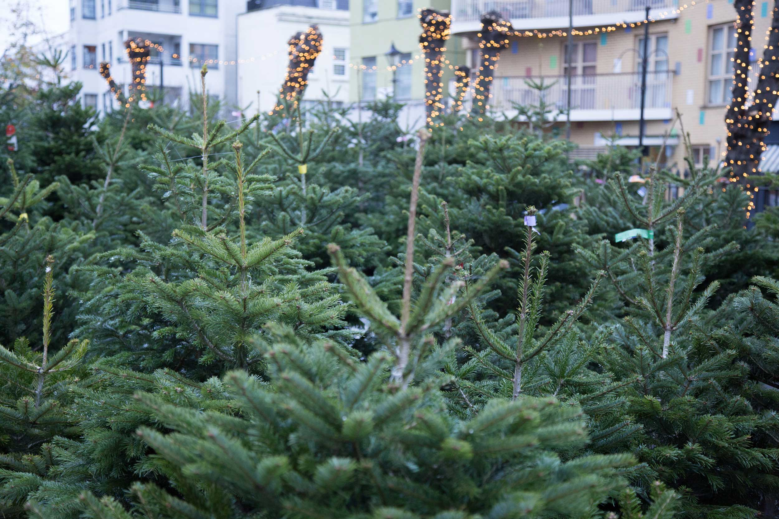 Top tips of keeping your Christmas tree healthy